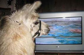 llama watching Animal Planet on TV